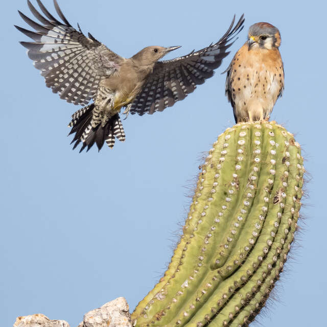 American Kestrel and the Gila Woodpecker