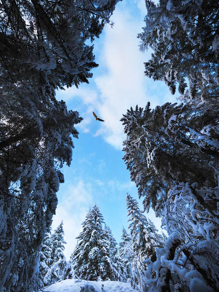 Snowy Trees and eagle
