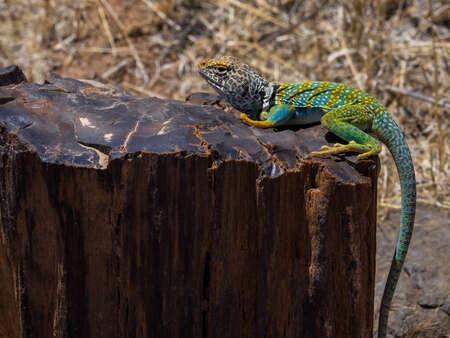 Lizard on Stump